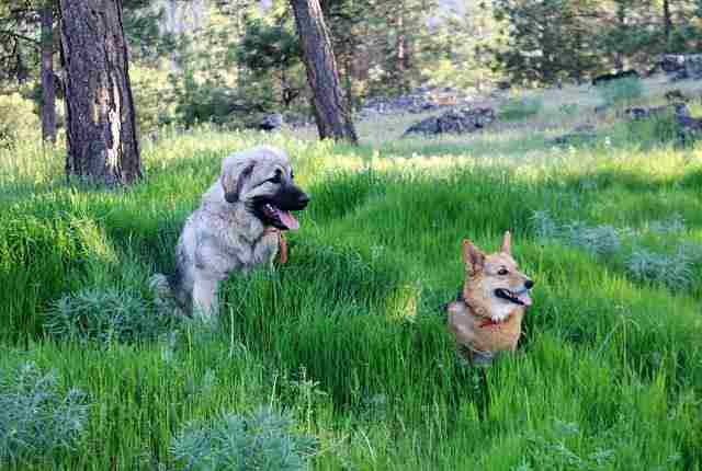 Sarplaninac Dog - Strong Dogs That Will Defeat A Wolf