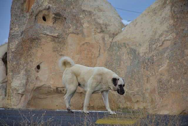 The Kangal - Strong Dogs That Will Defeat A Wolf