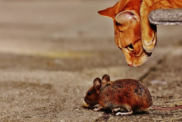 How long does it take a cat to catch a mouse?