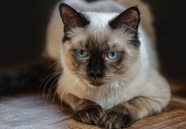 Can Obesity Be Fatal In Ragdoll Cats