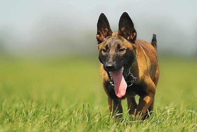 Malinois - Best Security Dogs