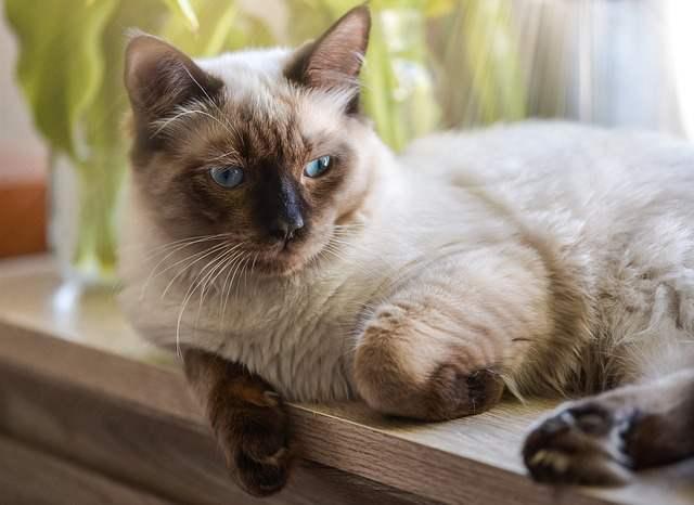 Obesity In Ragdoll Cats
