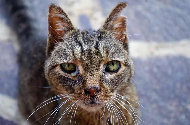 bacterial infections in cats symptoms