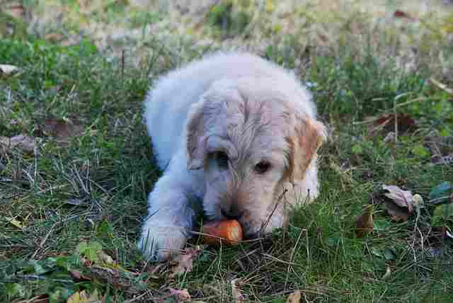 Why Dogs Love Carrots