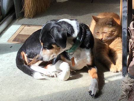 Are Beagles Good With Cats