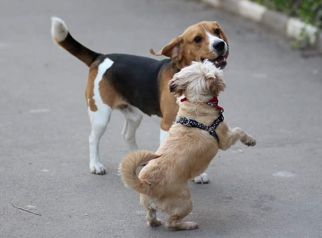 Are beagles good with other dogs