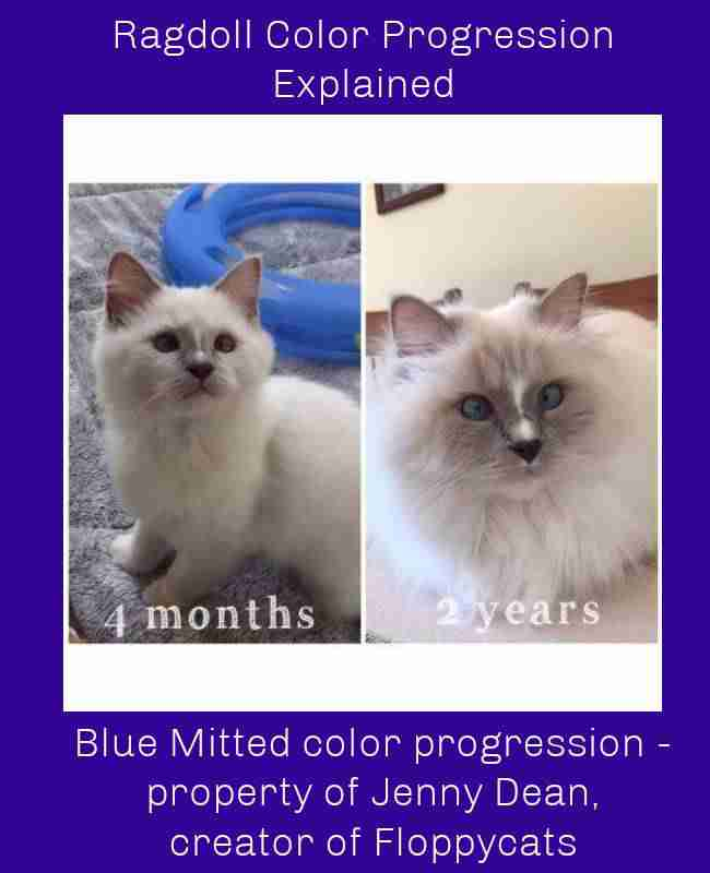 Blue Mitted color progression