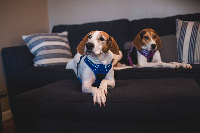 Can you leave a beagle alone for 8 hours