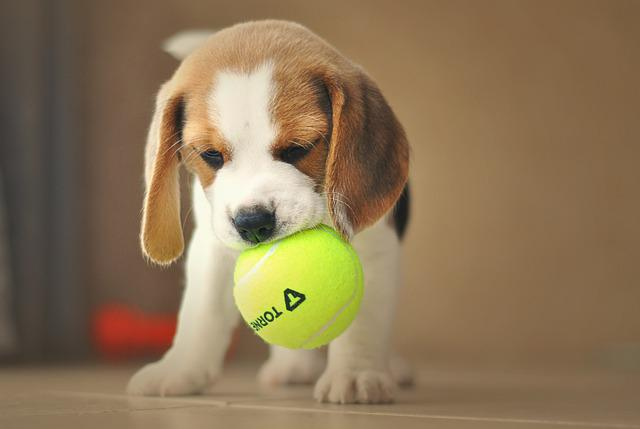 Get Amazing Toys For Your Beagle