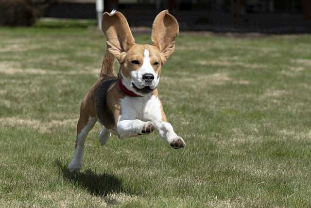 How To Train A Beagle Not To Run Away