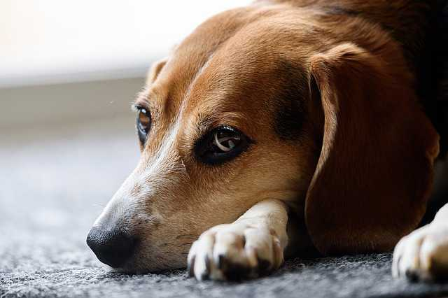 How To Train A Beagle To Be Left Alone