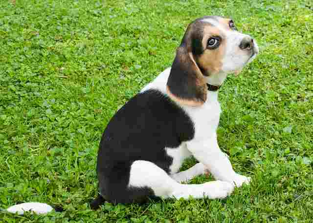 Important Tips In Potty Training Your Beagle Puppy