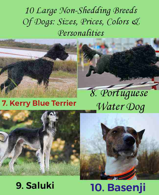 Summary Card 3 - 10 Large Non-Shedding Breeds Of Dogs Sizes, Prices, Colors & Personalities