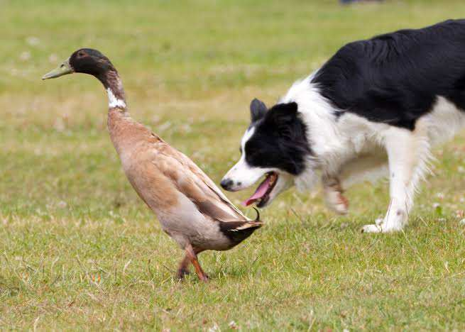 The Best Dog For Duck Hunting