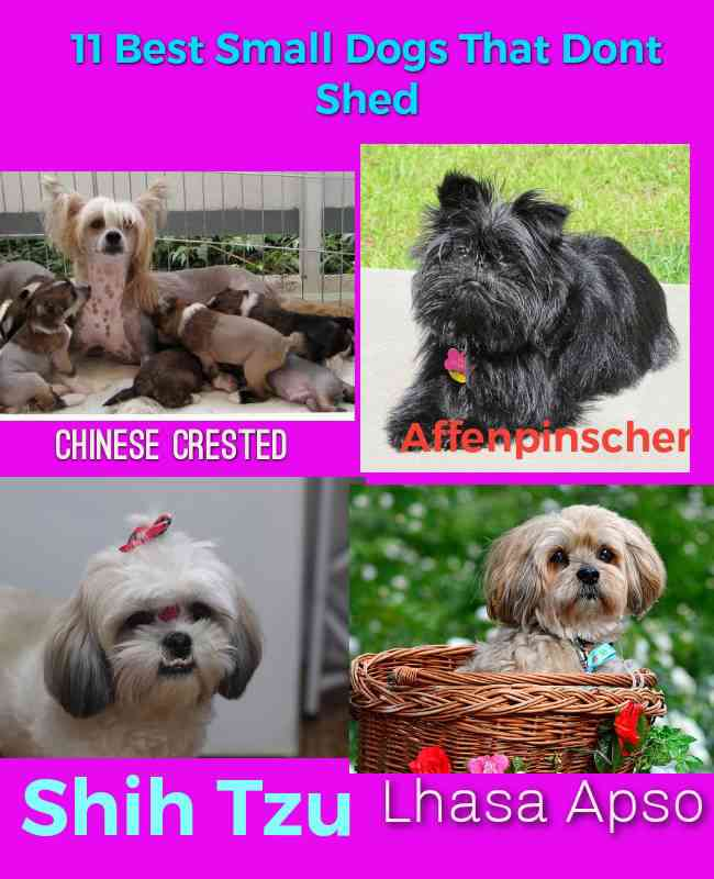 Best Small Dogs That Dont Shed