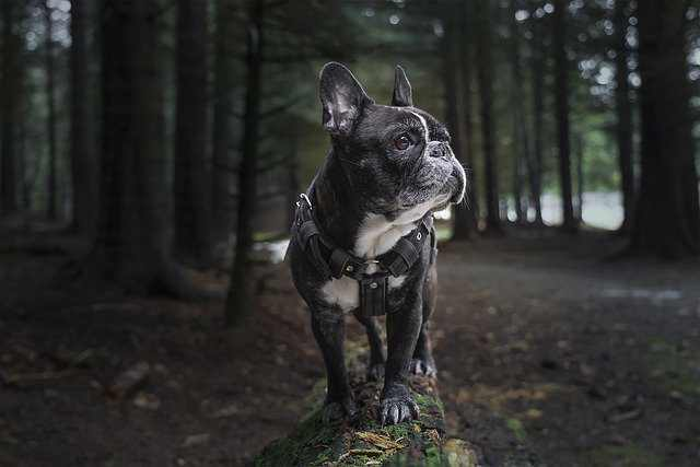 Frenchies Are Sensitive & Make Good Watch Dogs