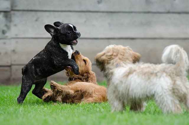 Frenchies Get Along With Other Dogs