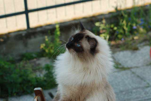 Cons Of Ragdoll Cats