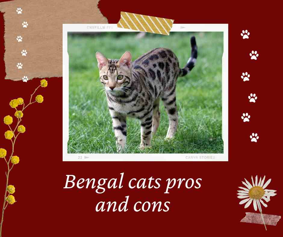 Bengal cats pros and cons