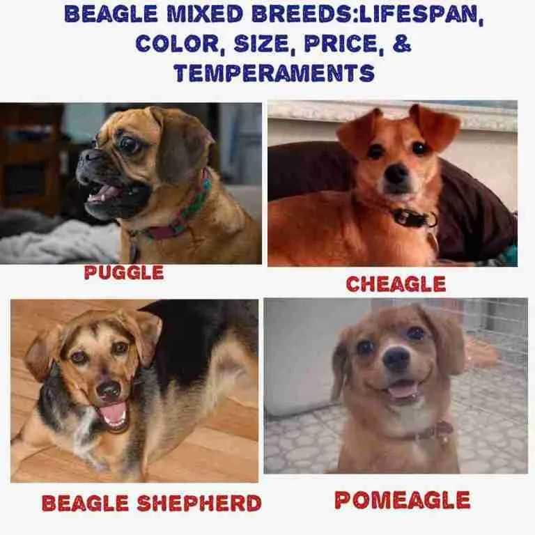 Best Beagle Mix
