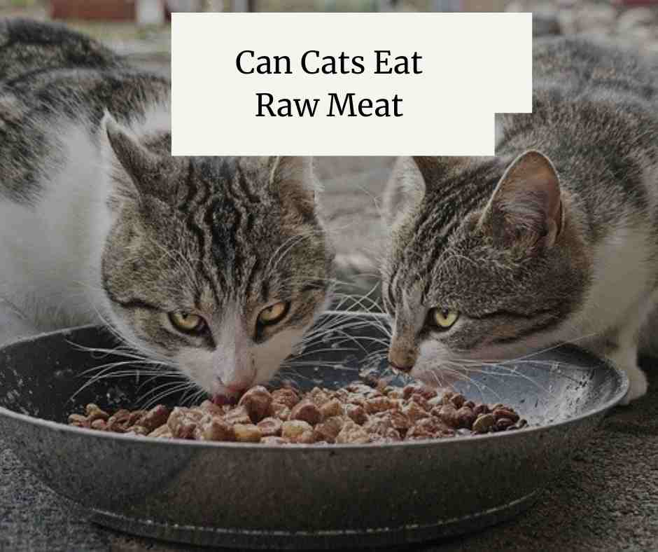 Can Cats Eat Raw Meat
