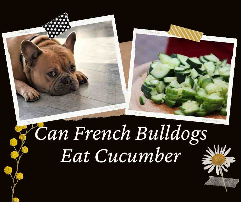 Can French Bulldogs Eat Cucumber