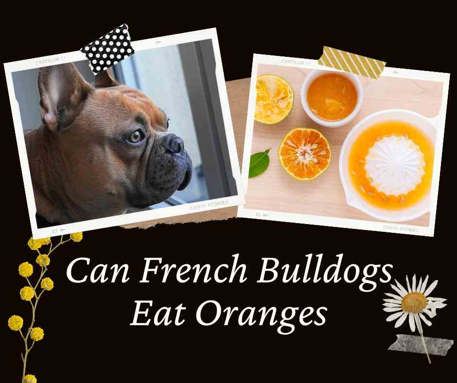 Can French Bulldogs Eat Oranges