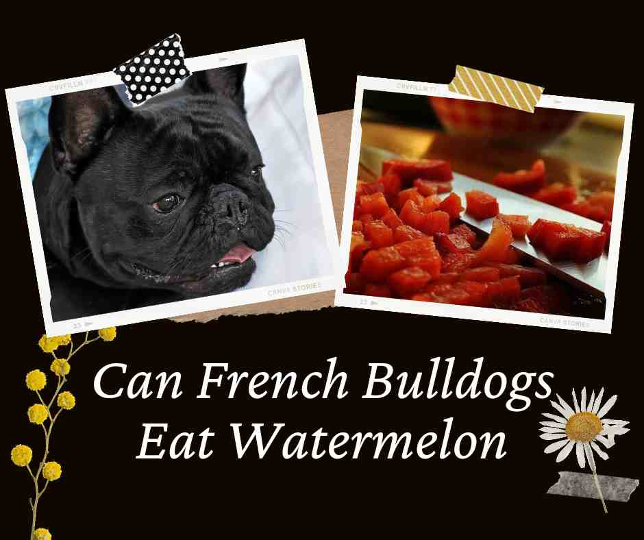 Can French Bulldogs Eat Watermelon