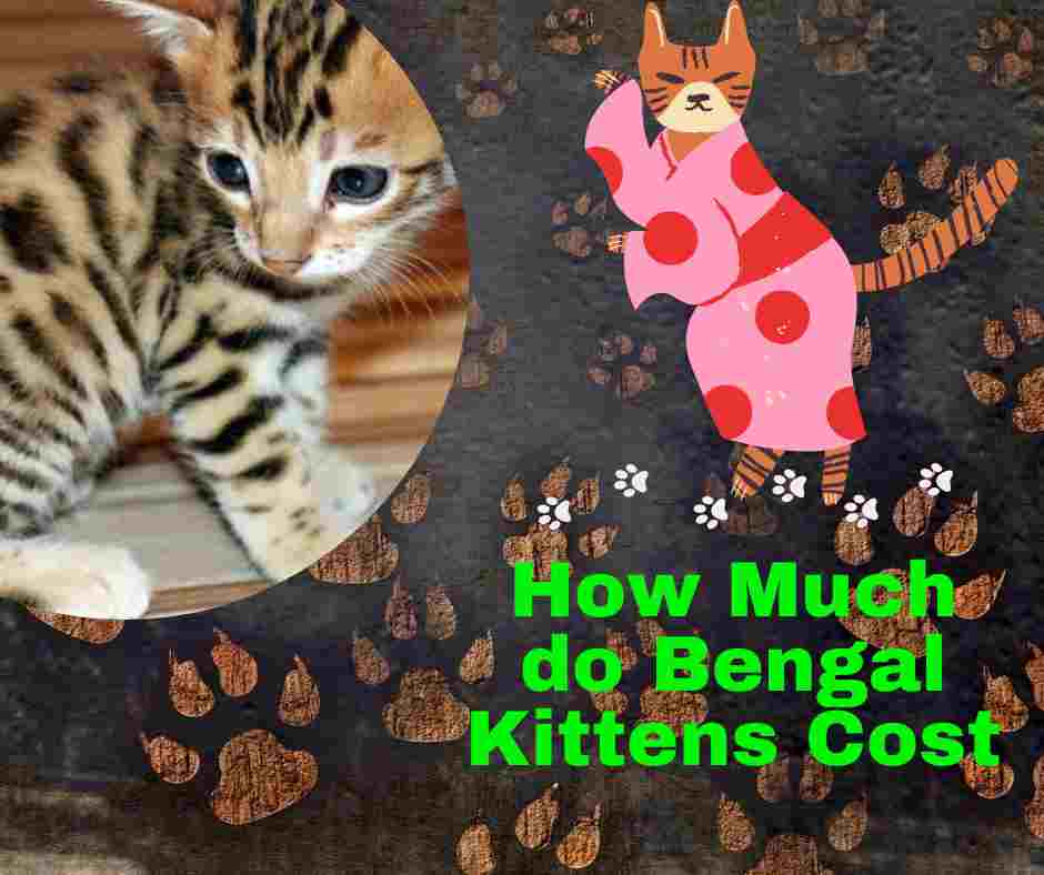How Much do Bengal Kittens Cost