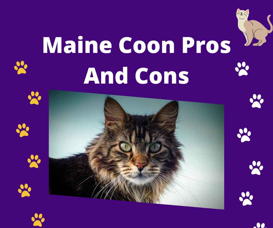 Maine Coon Pros And Cons