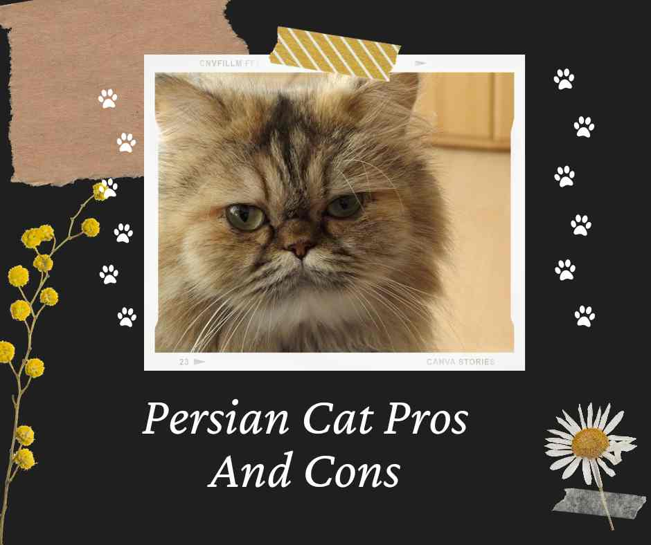 Persian cat pros and cons