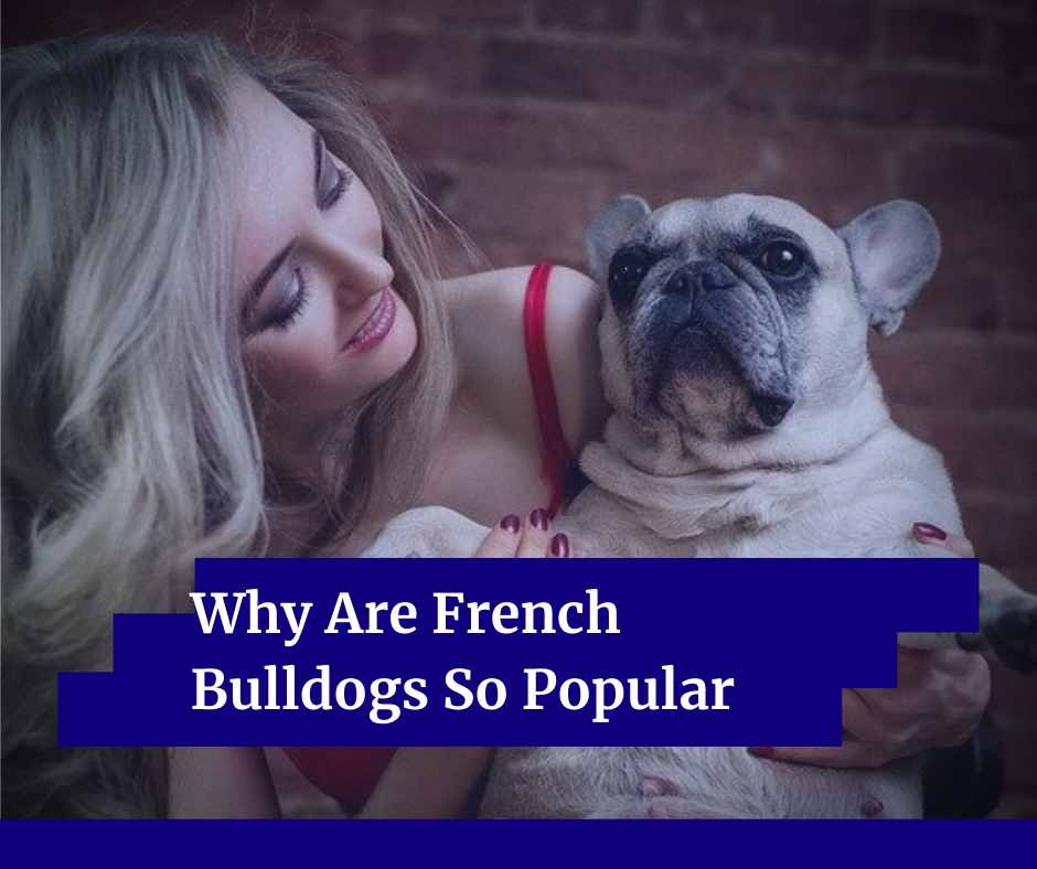 Why Are French Bulldogs So Popular