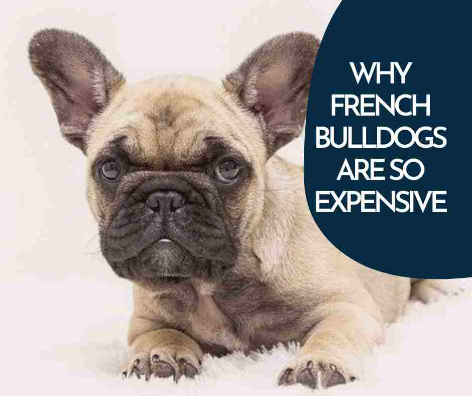 WHY FRENCH BULLDOGS ARE SO EXPENSIVE