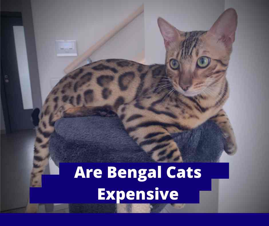 Are Bengal Cats Expensive
