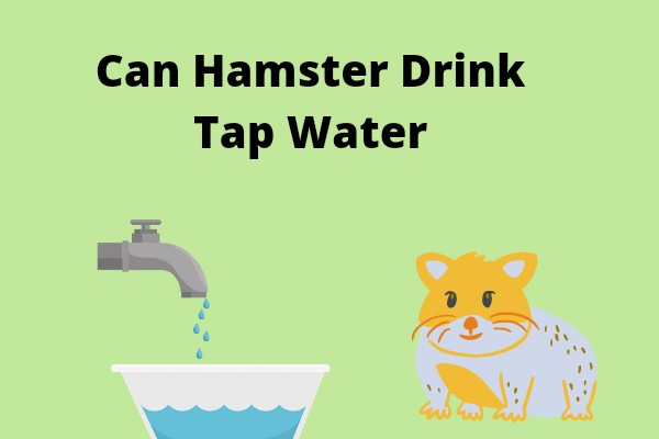 Can Hamster Drink Tap Water
