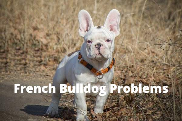 French Bulldogs health Problems