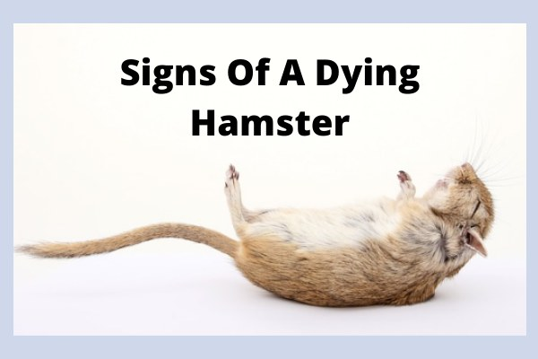 Signs Of A Dying Hamster
