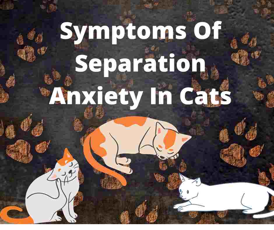 Symptoms Of Separation Anxiety In Cats