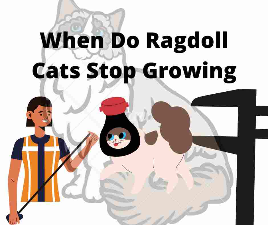 When Do Ragdoll Cats Stop Growing