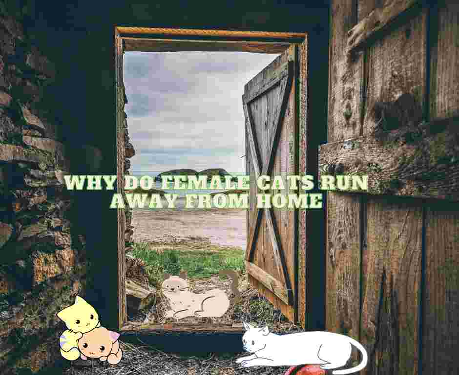 Why Do Female Cats Run Away From Home