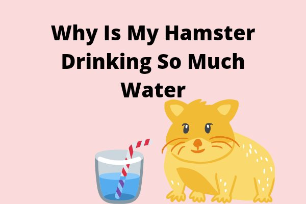 Why Is My Hamster Drinking So Much Water