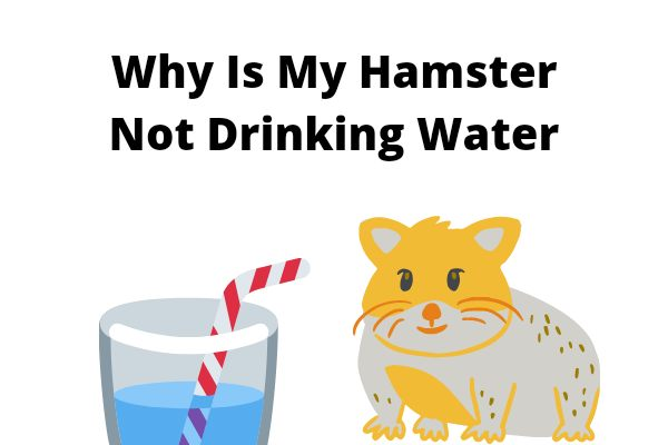 Why Is My Hamster Not Drinking Water