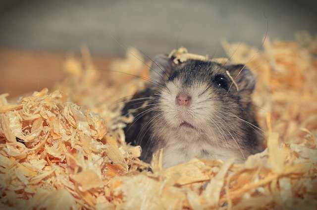 Can Hamsters Live Alone