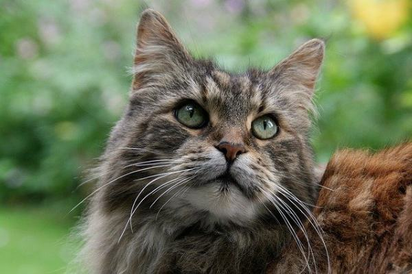 Are Maine coon cats good pets