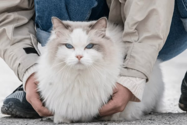 Can Ragdoll Cats Go Outside