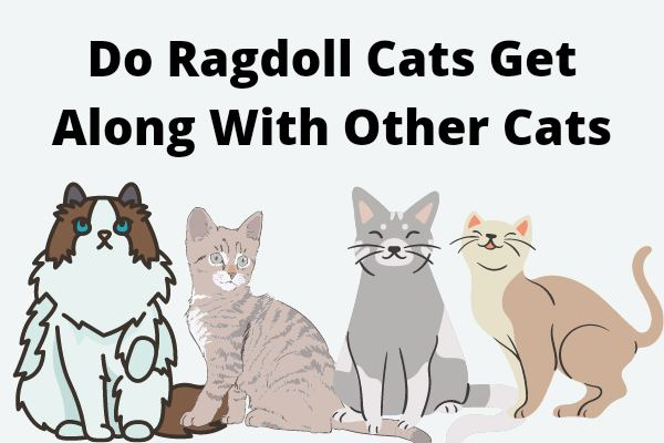 Do Ragdoll Cats Get Along With Other Cats