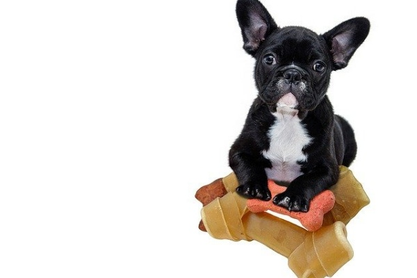 How To Potty Train A French Bulldog