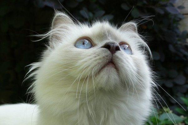 Why Do Ragdoll Cats Bite