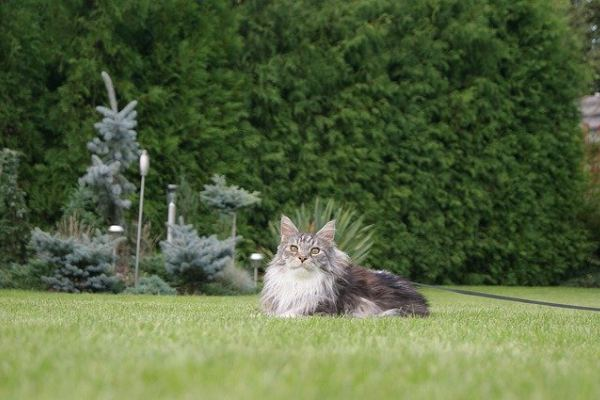 can maine coon cats go outside