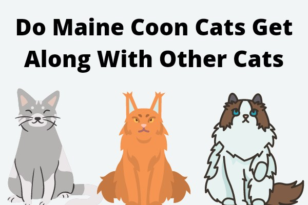 Do Maine Coon Cats Get Along With Other Cats